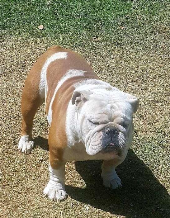 <strong>bulldog</strong> Ingles Servicio de Montas