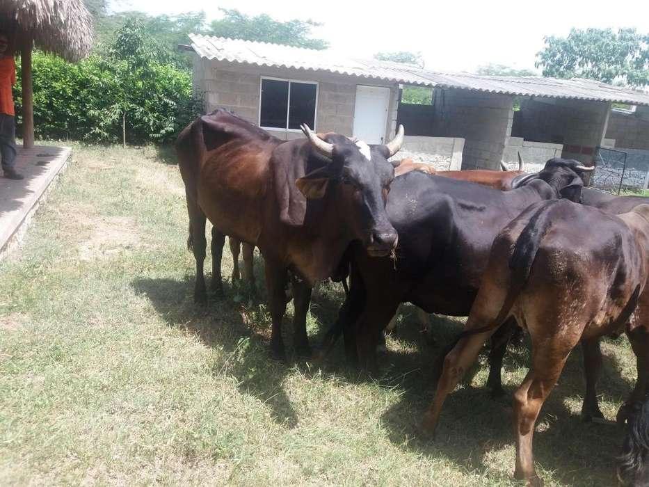 VENDO <strong>vacas</strong> PATURRAS LECHERAS patianas excelentes