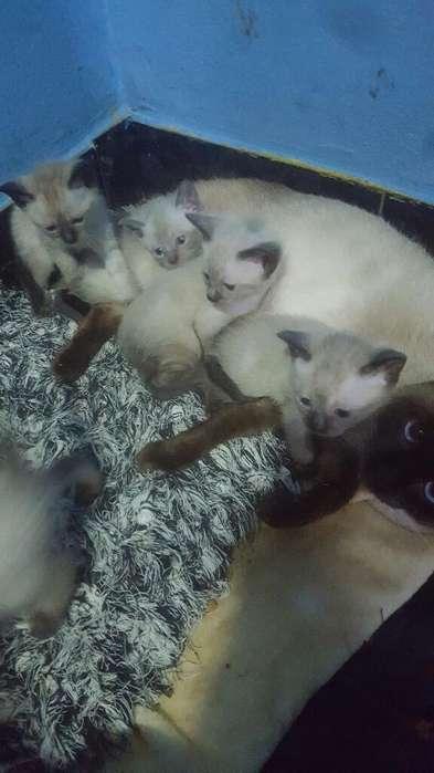 Vendo Gatitos Siames