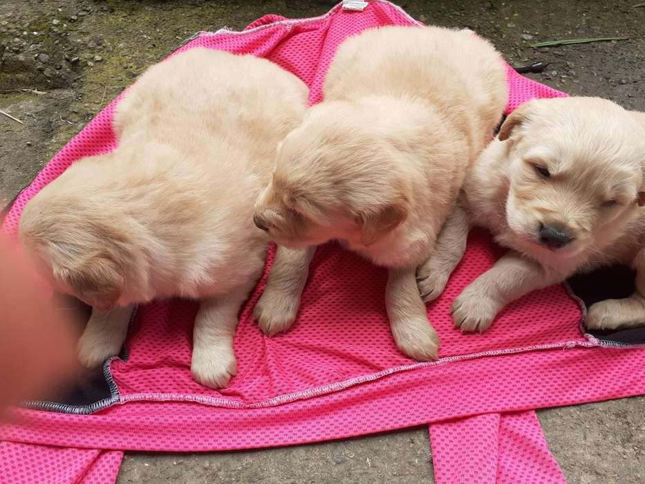 VENDO CACHOROS GOLDEN RETRIEVER