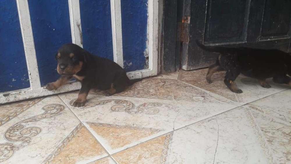 Disponibles Cachorros Rottweiler