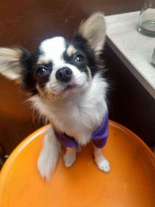 Chihuahua macho para monta pelo largo.