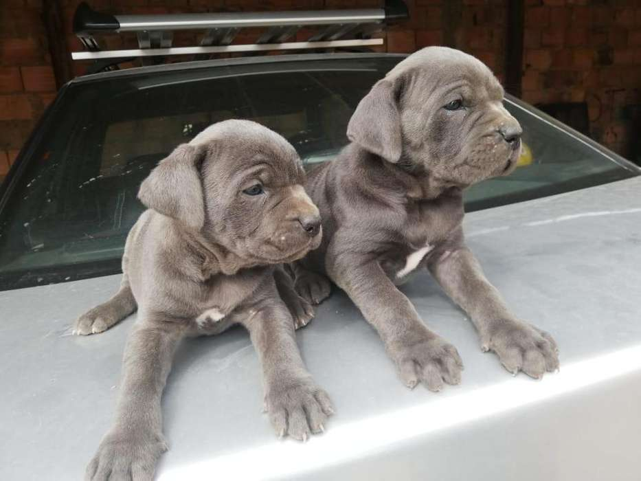 cachorros mastin napolitanos