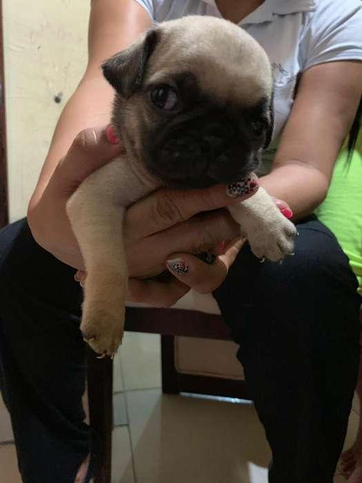 Se Vende Cachorro Pug