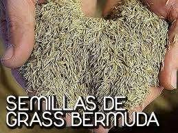 semilla de cesped decorativo bermuda gras clima calido por libras