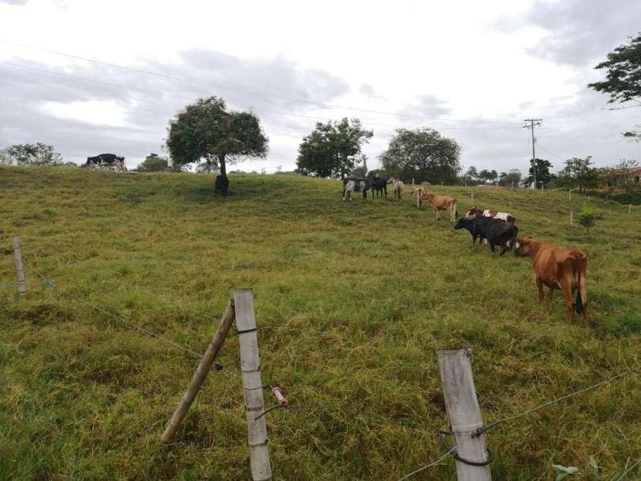 Vendo O Permuto Vacas Lecheras