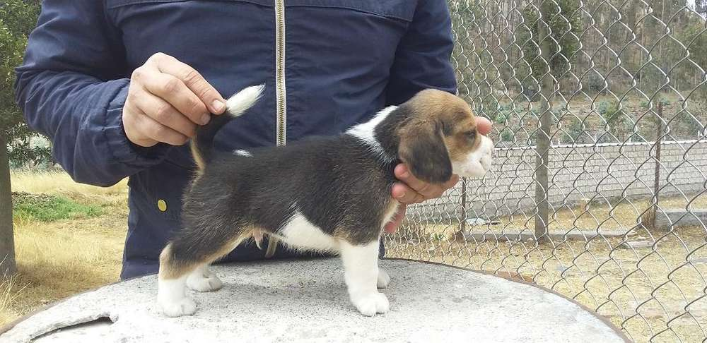 Beagle Vende Criadero Ansoldecotopaxi