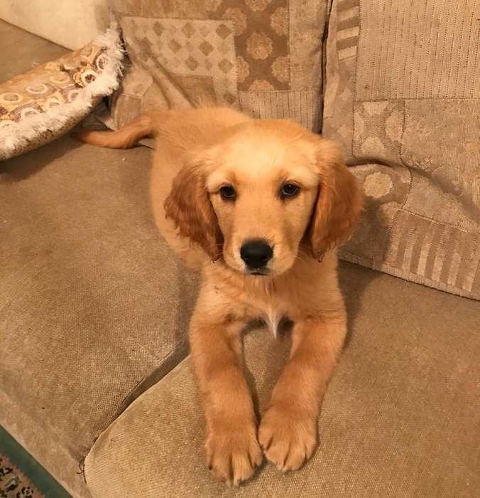 Cachorro Golden R. 2meses Vacunado