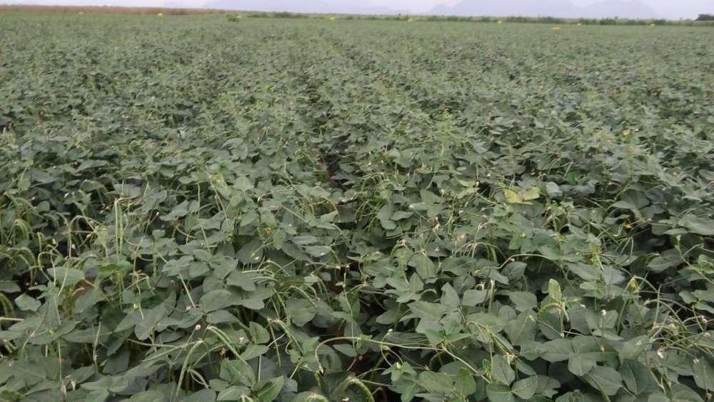 Terreno agricola de 80 y 10 hectáreas en Jayanca Prov. y Dpto de Lambayeque