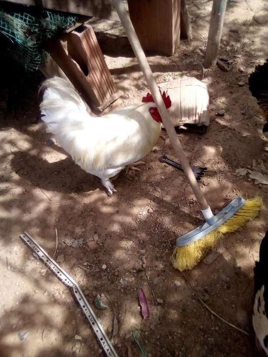 Pollos Criollos