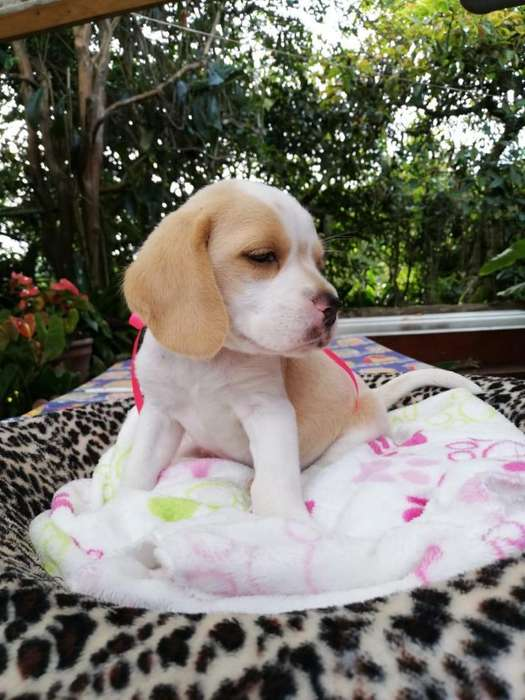 Hermosa beagle limón