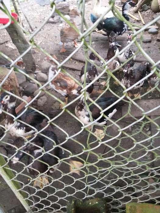 Vendo 12 Patos Desparasitado 130