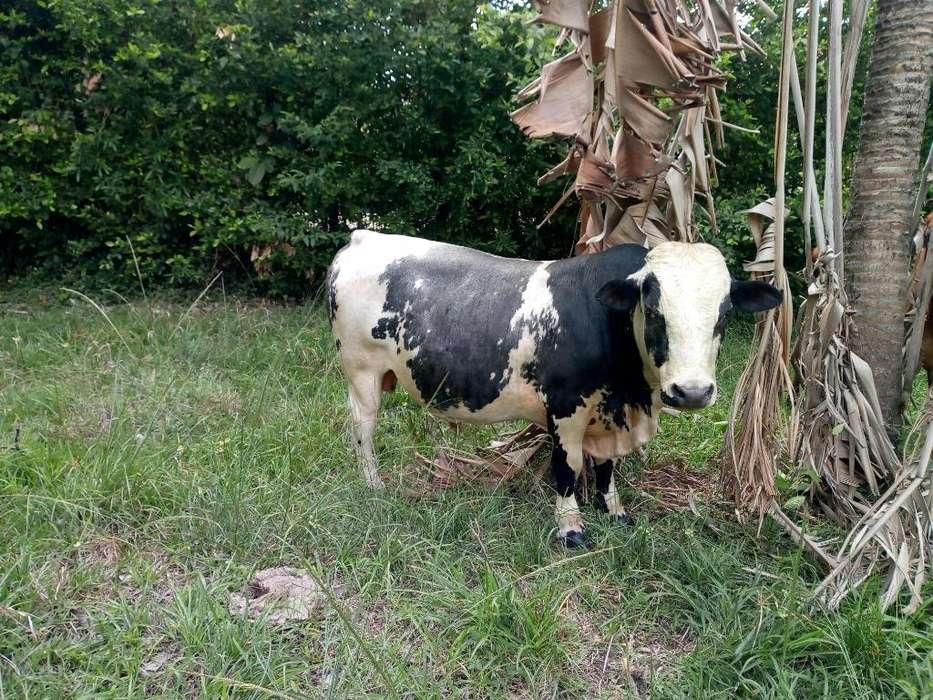 Vendo 3 <strong>vacas</strong> Patinas I Un Toro
