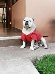 Bulldog Ingles para Monta