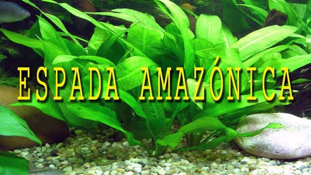 Planta Acuatica Espada Amazonica