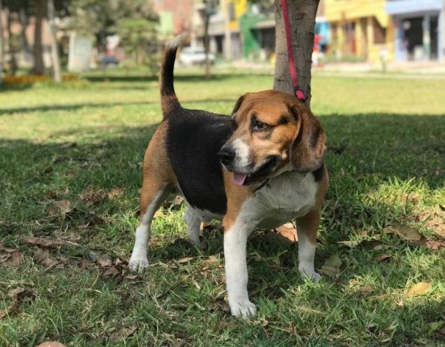 Monta Beagle