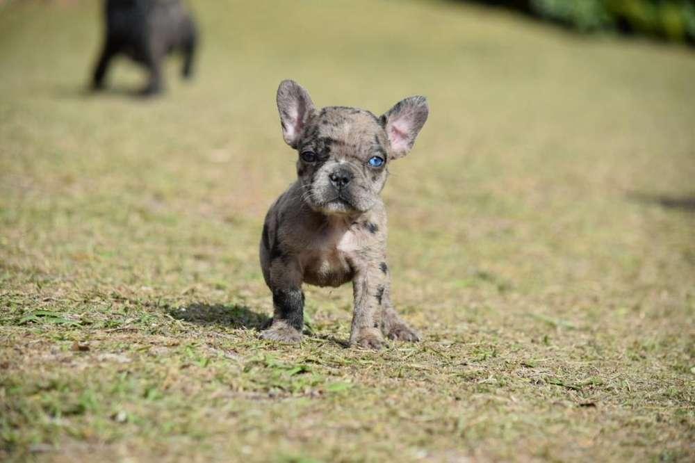 <strong>bulldog</strong> Francés de Cancanmascotas