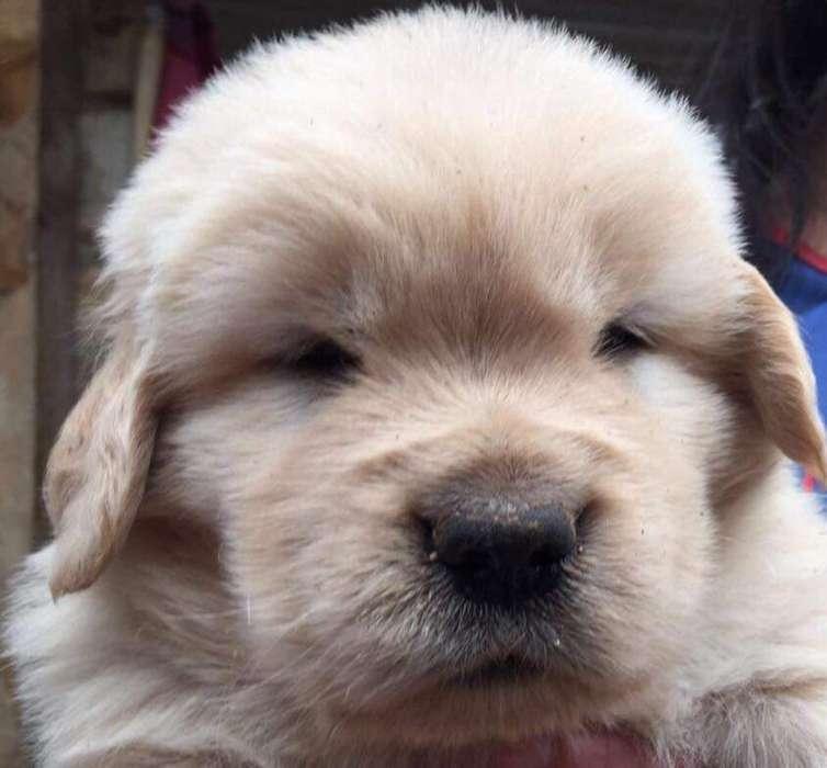 Hermosos Cachorros Golden