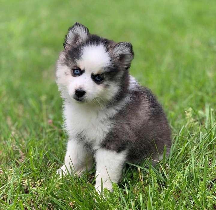 Pomsky, hermosos, exclusivos y encantadores Pomsky ¡TU <strong>cachorro</strong> TIENDA ¡¡SITIO EXCLUSIVO!!