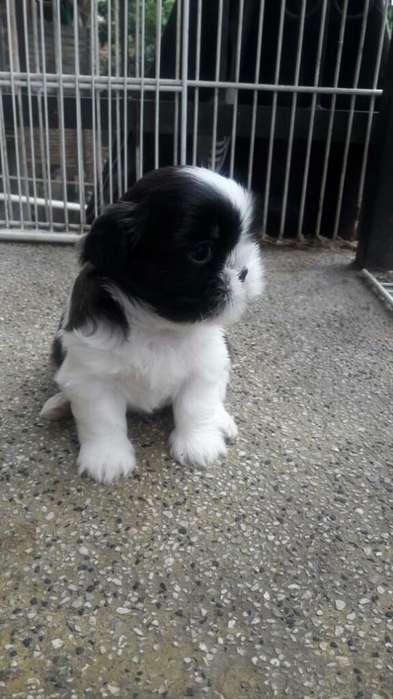 Cachorritos de Shitzu Disponible