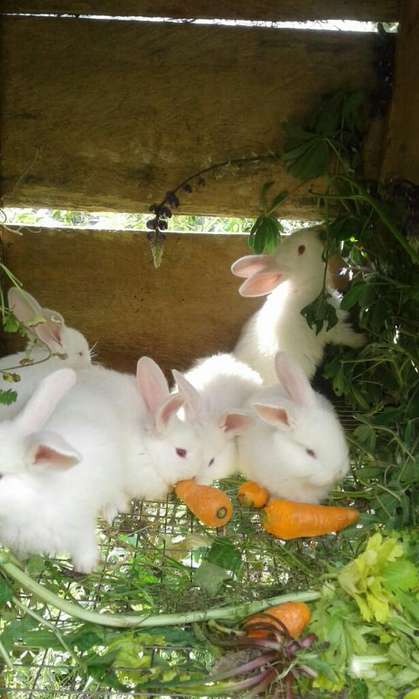 Hermosos Conejos de Venta de <strong>mascota</strong>