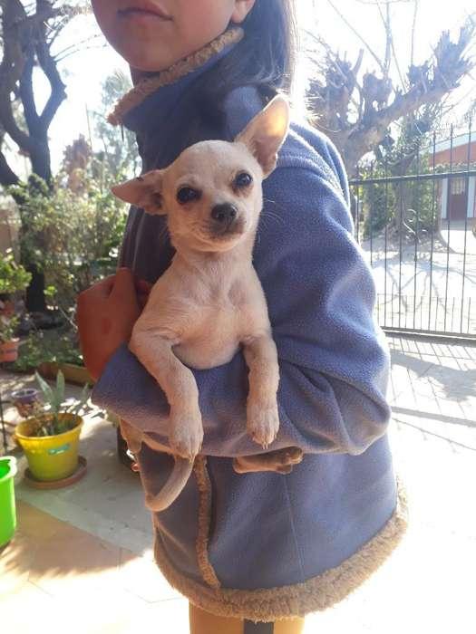 Vendo Cachorro Chihuahua.pelo Corto