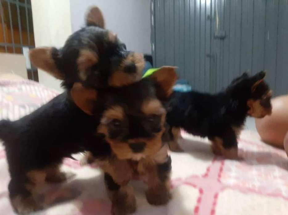 Cachorros Yorkis. Terrier.