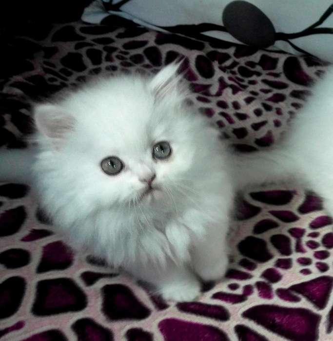 Gato Persa Doll Face