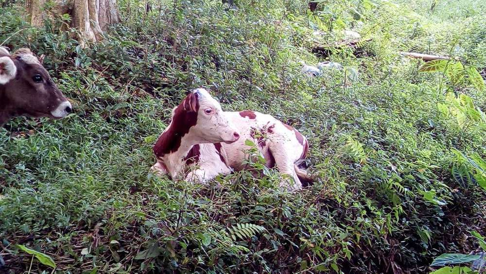 Vendo Ternero Holstein Rojo Puro Y Bbss