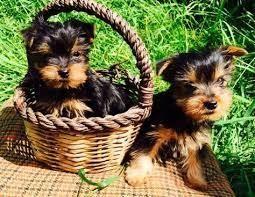 Cachorros de Yorki en Armenia