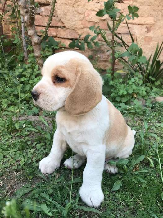 <strong>beagle</strong> Machito