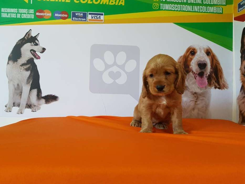 Simpaticos Cocker Spaniel Originales