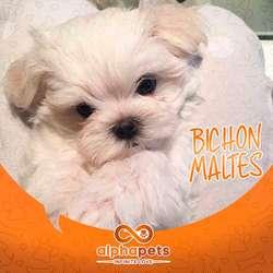 SELECCIONADOS CACHORROS BICHON MALTES § EXCLUSIVOS PERU § PAGA EN 12 MESES CON ALPHA PETS