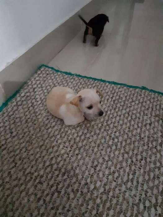 Vendo Cachorros Pincher de 1 Mes Y Medio