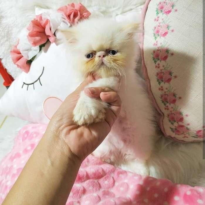 Gatos Persa Himalaya Pequeface