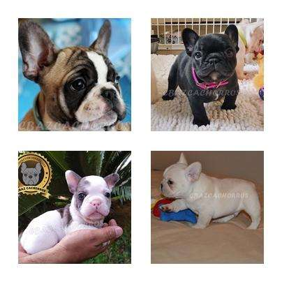 MAGNIFICOS CACHORROS <strong>bulldog</strong> FRANCES GRAN VARIEDAD FAWN ,merle ,rojo,BRINDLE ALTA CALIDAD EXCLUSIVIDAD GRAN PRESTIGIO