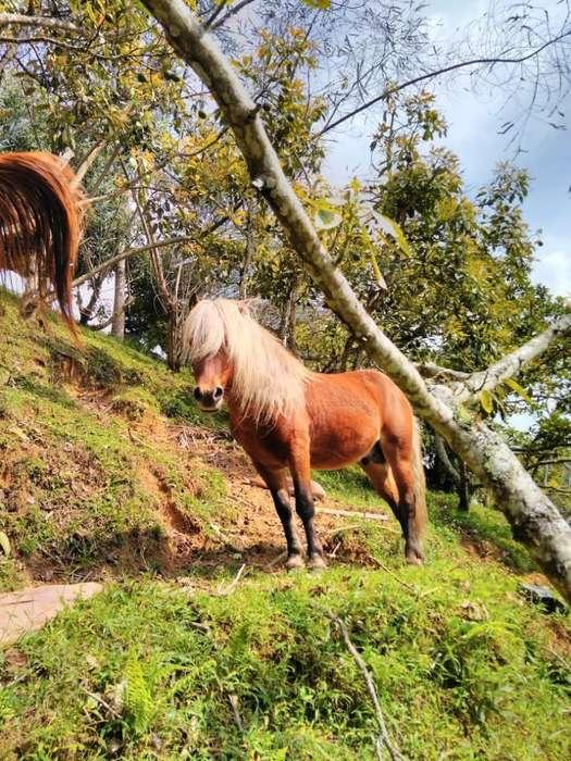 Caballo Pony en Venta