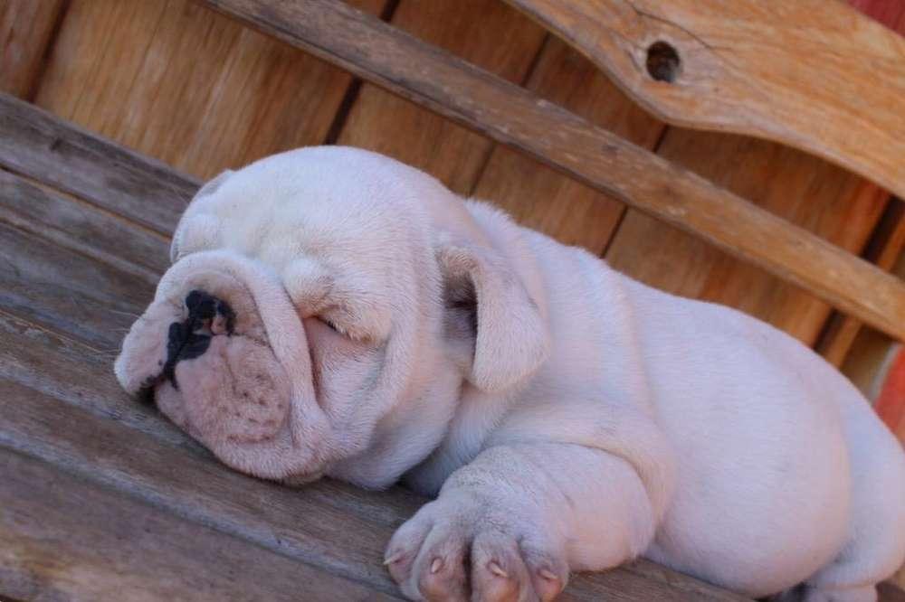 Hermoso <strong>bulldog</strong> Ingles
