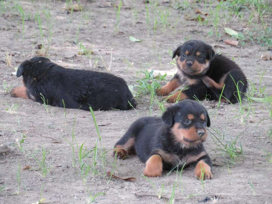 <strong>rottweiler</strong> Saludables Y Hermosos
