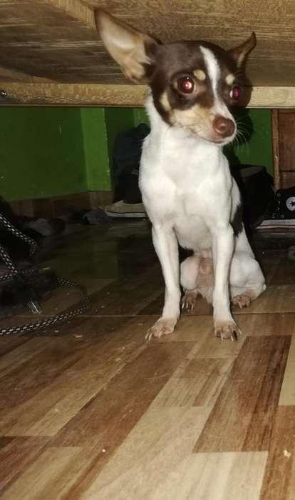 Hermoso Chihuahua Macho