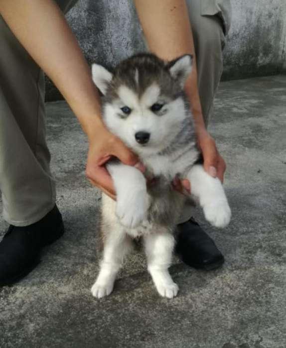 <strong>cachorro</strong>s Husky Siberiano