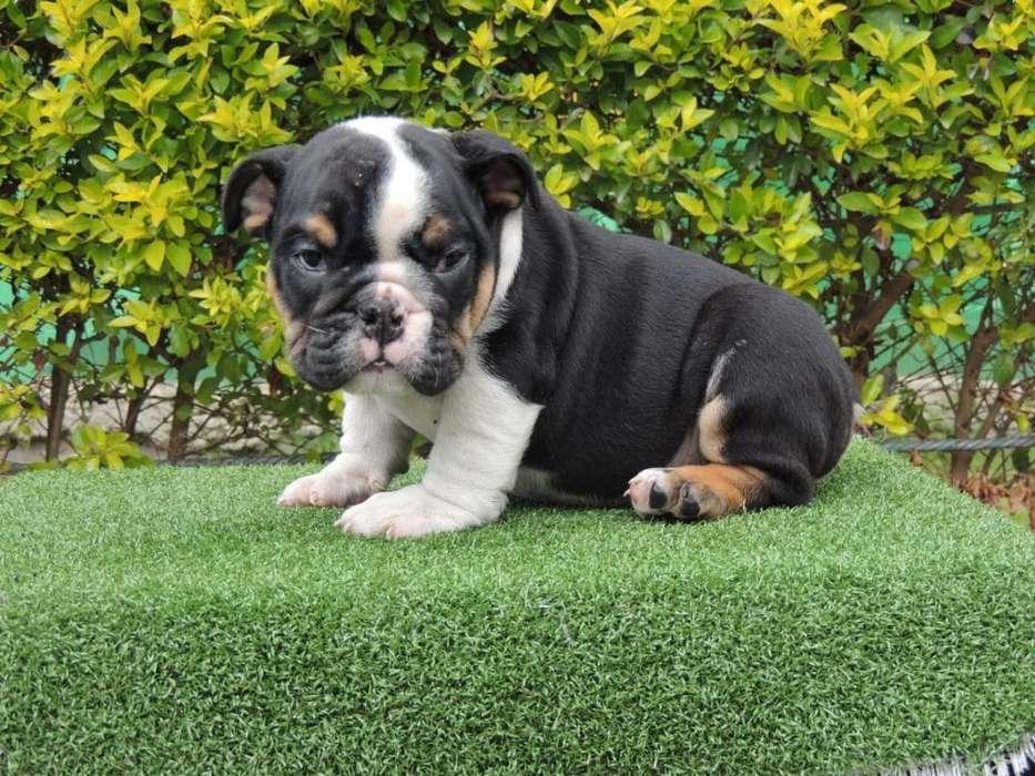 Hermosos <strong>cachorro</strong>s Blacktri Disponibles.