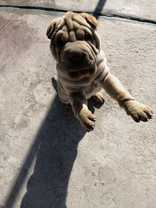 Vendo Cachorra Sharpei
