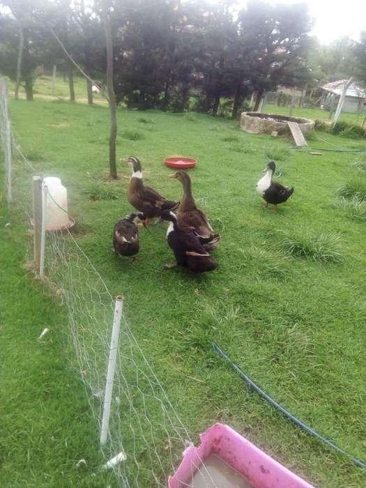 <strong>patos</strong> chilenos machos