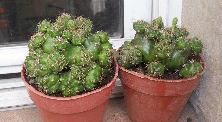 cactus gymnocalycium marsoneri maceta 12 con pimpollos