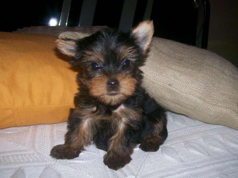 en venta small tick yorkshire terrier miniatura