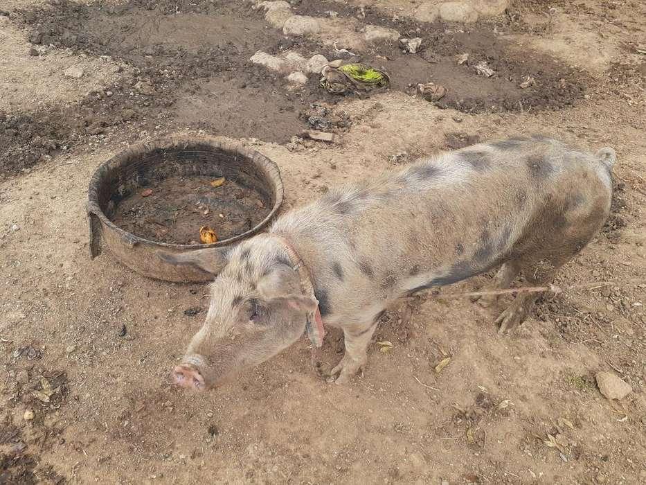 Venta de cerdo serranito