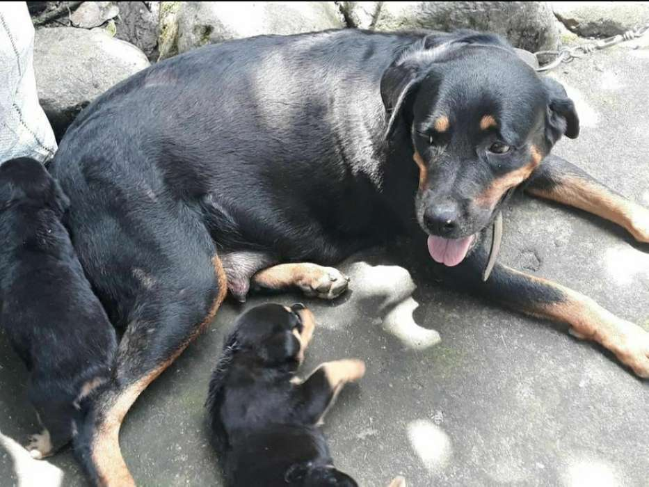 <strong>cachorro</strong>s Rottweiler