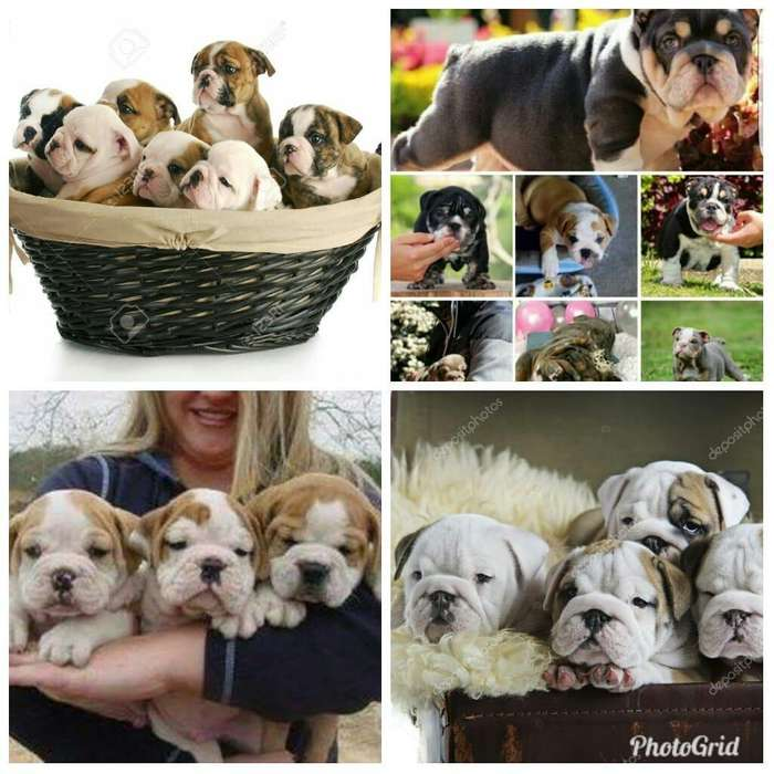 Bellos Bulldogs