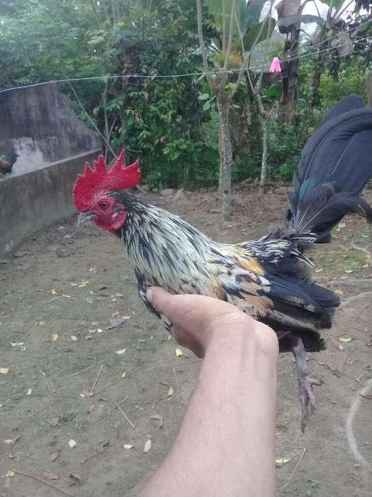 <strong>gallo</strong> Chiricano